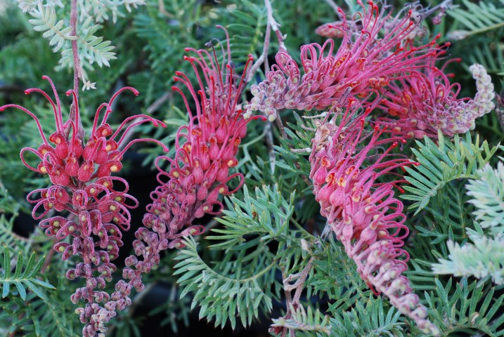 Grevillea Pick o' The Crop (PBR)