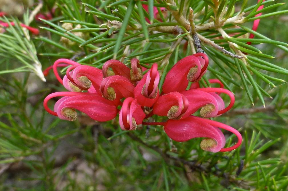Grevillea Scarlet Sprite