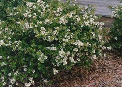 Leptospermum Lemon Bun