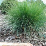 Lomandra-Frosty-Tops-5-Small