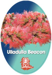 Melaleuca Ulladulla Beacon