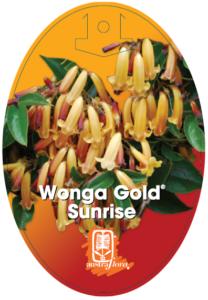 Pandorea Wonga Gold Sunrise