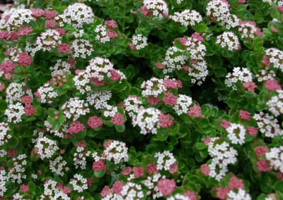 Platysace Edna Walling Flower Girl