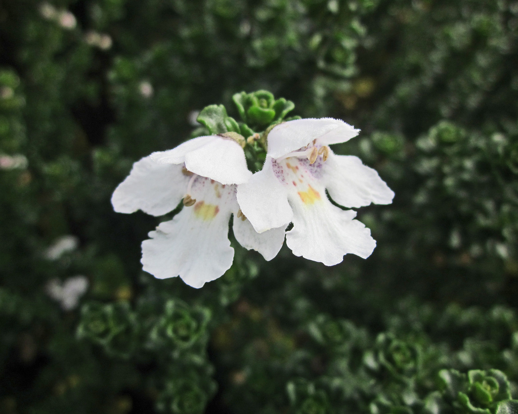 Prostanthera Cool Mint