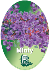 Prostanthera Minty