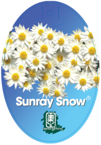 Rhodanthe Sunray Snow
