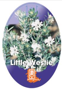 Westringia Little Westie