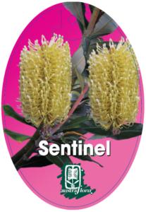 Banksia Sentinel