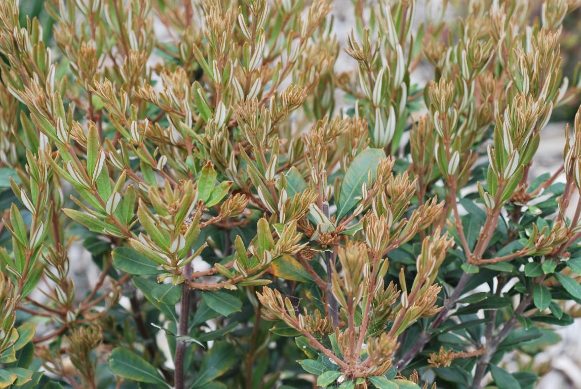 Banksia Sentinel (PBR)