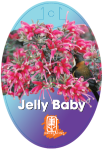 Grevillea Jelly Baby
