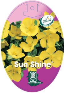 Hibbertia Sun Shine