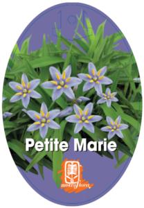 Dianella Petite Marie