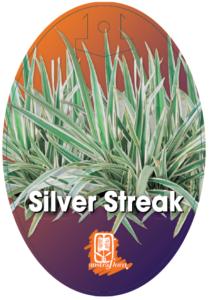 Dianella Silver Streak