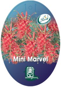 Grevillea Mini Marvel