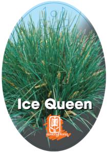 Lomadra Ice Queen