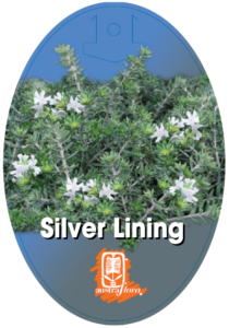 Westringia Silver Lining