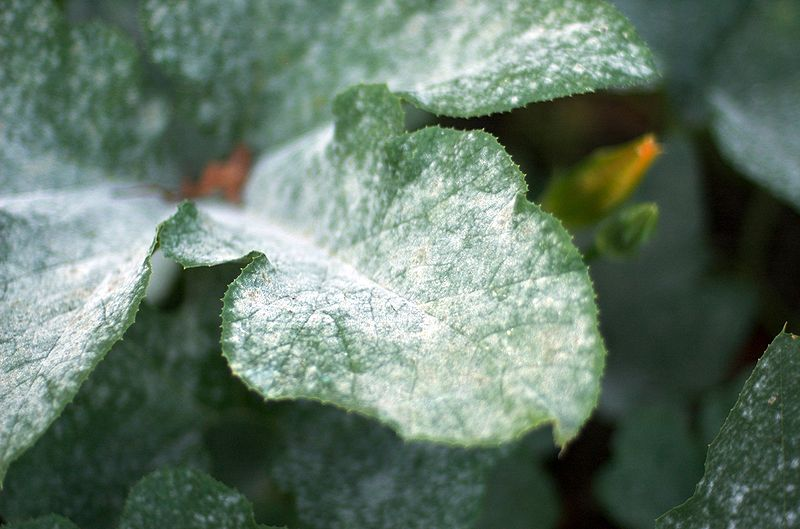 Powdery Mildew … Eww!