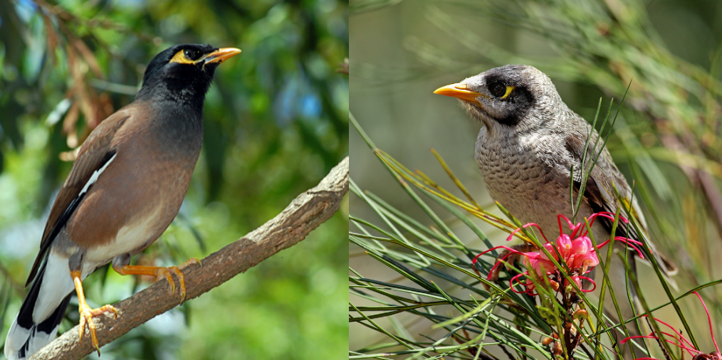 Indian Myna vs. Noisy Miner