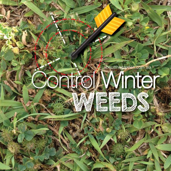 Control Winter Weeds