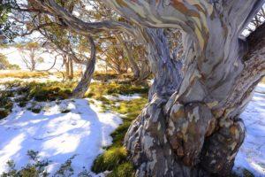 """""""Eucalyptus pauciflora"""" by Helmut Kummer"""