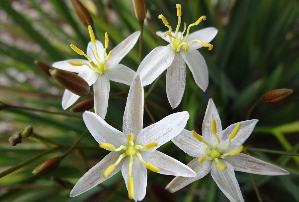 Thelionema Lily White