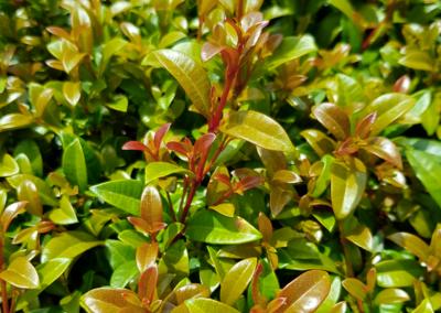 Syzygium Hinterland Gold