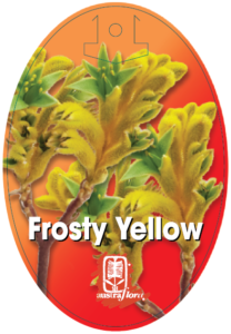 Anigozanthos Frosty Yellow
