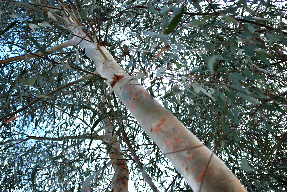 Eucalyptus Little Spotty