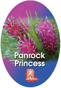 Grevillea Panrock Princess