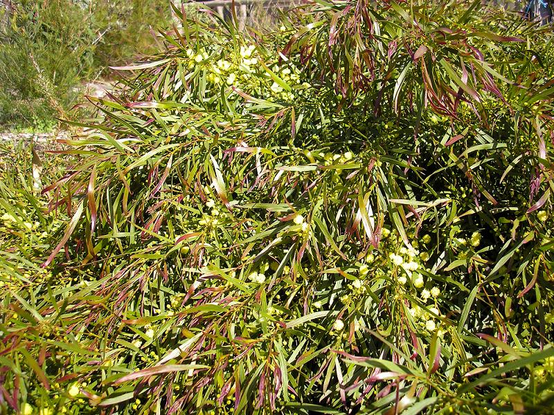 Acacia Mop Top (PBR)