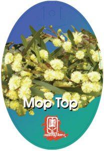 Acacia Mop Top