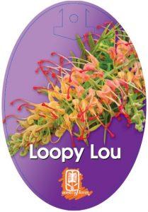 Grevillea Loopy Lou